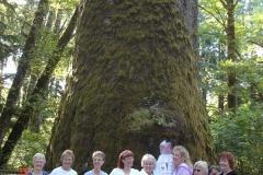 U.S's Largest Sitka spruce tree near Seaside,OR