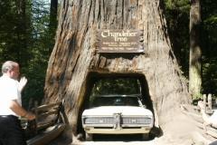 Les Coming through Redwood tree